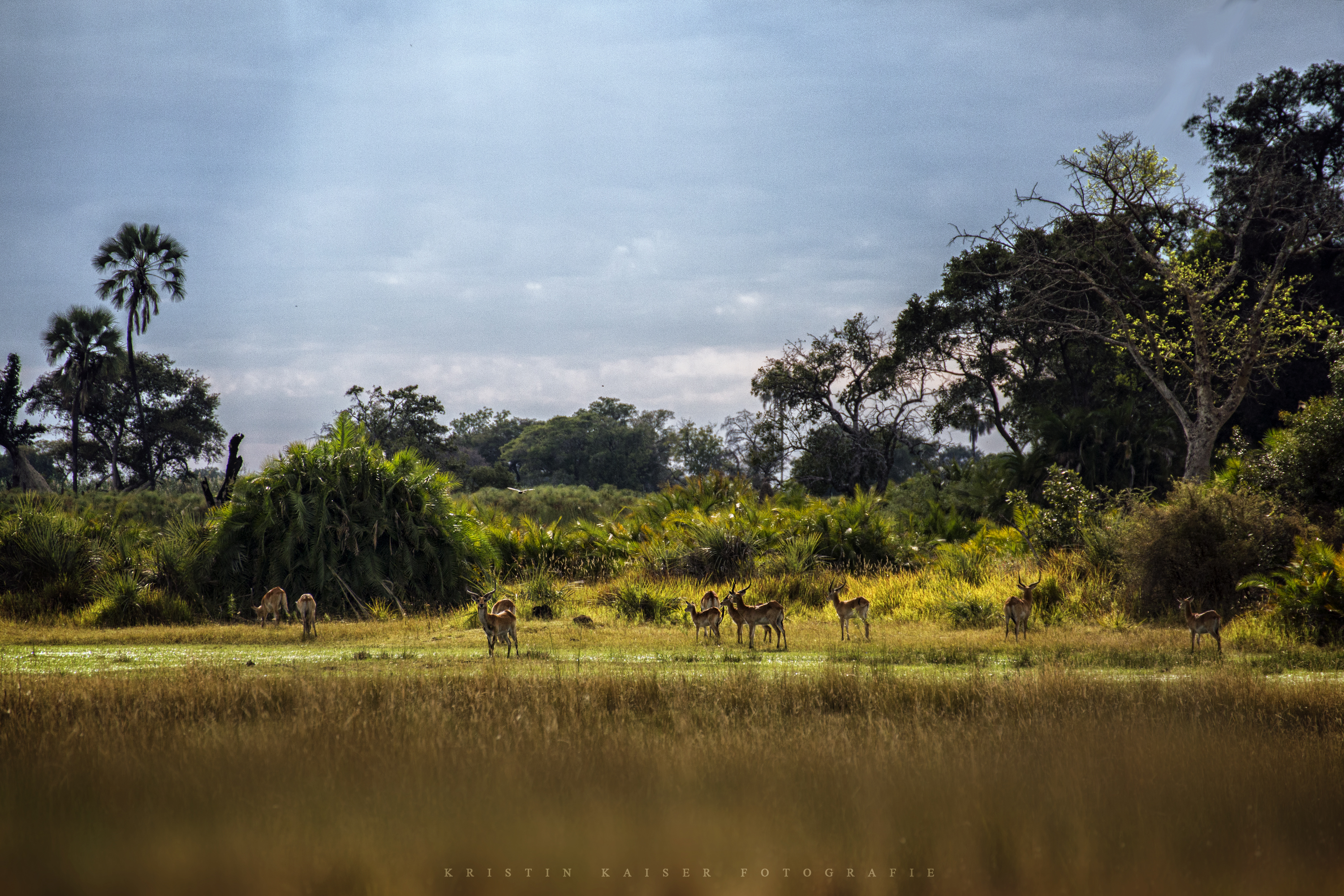 Red Lechwe in the Okawango Delta